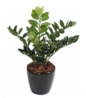 Zamia artificiel